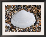 Surf Clam Shell on Beach, Belgium Prints by Philippe Clement