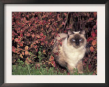 Ragdoll Cat in Garden, Italy Posters by Adriano Bacchella