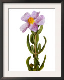 Grey Leaved Cistus Flower Spain Posters by Niall Benvie