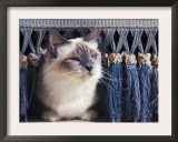 Birman Cat Amongst Tassles under Furniture Poster by Adriano Bacchella