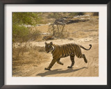 Bengal Tiger Hunting, Ranthambhore Np, Rajasthan, India Prints by T.j. Rich