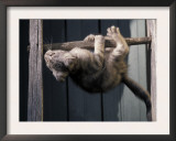 Scottish Fold Cat Hanging Upside-Down from Ladder Rung, Italy Posters by Adriano Bacchella