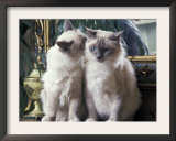 Two Birman Cats Sitting on Furniture, Interacting Prints by Adriano Bacchella