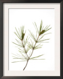 Young Cones on Twig of Aleppo Pine Tree Spain Posters by Niall Benvie
