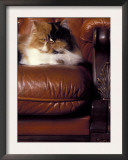 Black, White and Cream Mackerel Tabby Persian Cat Resting in Armchair Posters by Adriano Bacchella