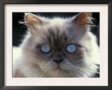 Persian Cream Cat, Close Up of Face and Blue Eyes Prints by Adriano Bacchella