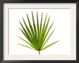 Palmito Dwarf Fan Palm Spain Print by Niall Benvie