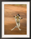 Verreaux's Sifaka 'Dancing', Berenty Private Reserve, South Madagascar Posters by Inaki Relanzon