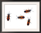 Four Fire Bugs Spain Art by Niall Benvie