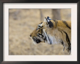 Bengal Tiger Looking Alert, Note Porcupine Quill Stuck in Neck, Ranthambhore Np, Rajasthan, India Posters by T.j. Rich