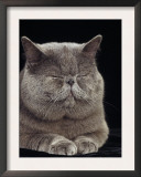 Exotic Grey Cat, Sleeping Posters by Adriano Bacchella