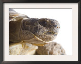 Greek Spur Thighed Tortoise Head Portrait, Spain Prints by Niall Benvie