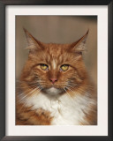 Maine Coon Red Tabby Cat, Portrait Prints by Adriano Bacchella
