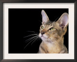 Oriental Cat, Head Portrait Prints by Adriano Bacchella