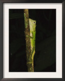 Green Mountain Agama in Rainforest at Night, Mt Kinabalu, Sabah, Borneo Art by Tony Heald