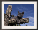 Grey Kitten Resting on Logs in Garden, Italy Posters by Adriano Bacchella