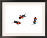 Three Fire Bugs Alicante, Spain Prints by Niall Benvie