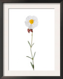 Rock Rose Flower Spain Prints by Niall Benvie