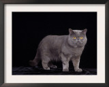Exotic Grey Cat, Portrait Posters by Adriano Bacchella