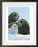 Family of Seals Prints