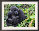 Female Mountain Gorilla with Her Baby, Volcanoes National Park, Rwanda, Africa Posters by Eric Baccega