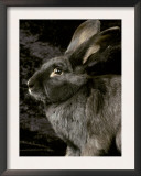 Viennese Blue Domestic Rabbit Posters by Adriano Bacchella