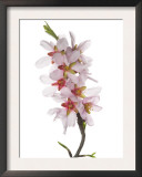 Almond Blossom Spain Prints by Niall Benvie