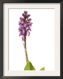 Giant Orchid in Flower Spain Posters by Niall Benvie
