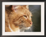 Maine Coon Red Tabby Cat, Portrait Print by Adriano Bacchella