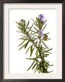 Rosemary in Flower, Spain Poster by Niall Benvie