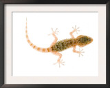Moorish Gecko Juvenile, Spain Posters by Niall Benvie