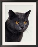 Certosina - Chartreux Cat, Portrait Poster by Adriano Bacchella