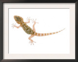 Moorish Gecko Juvenile, Spain Prints by Niall Benvie
