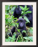 Young Mountain Gorilla Sitting, Volcanoes National Park, Rwanda, Africa Prints by Eric Baccega
