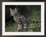 European Brown Tabby Kitten, Sitting on Rock in Garden, Italy Posters by Adriano Bacchella