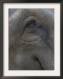 Indian Elephant Close Up of Eye, Controlled Conditions, Bandhavgarh Np, Madhya Pradesh, India Prints by T.j. Rich