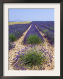 Row of Cultivated Lavender in Field in Provence, France. June 2008 Prints by Philippe Clement