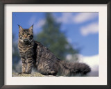 Looking Up at Maine Coon Cat Prints by Adriano Bacchella