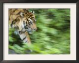 Sumatran Tiger Walking Posters by Edwin Giesbers