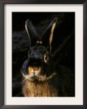 Black and Tan Domestic Rabbit Prints by Adriano Bacchella
