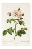Redoute Rosa Alba Regalis Prints by Pierre-Joseph Redout&#233;