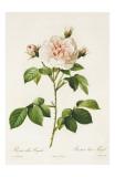 Redoute Rosa Alba Regalis Prints by Pierre-Joseph Redouté