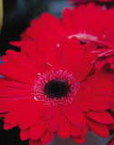 Red Gerbera Daisies II Prints by Erin Berzel