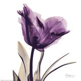 Royal Purple Parrot Tulip Reprodukcje autor Albert Koetsier
