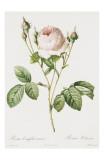 Redoute Rosa Centifolia Carnea Poster von Pierre-Joseph Redouté