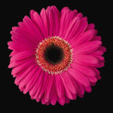 Gerbera Daisy Pink Print by Jim Christensen