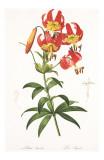 Redoute Lilium Superbum Posters by Pierre-Joseph Redouté