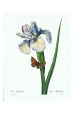 Redoute Iris Hiphium Print by Pierre-Joseph Redouté
