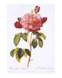 Redoute Rosa Gallica Aurelianensis Kunst von Pierre-Joseph Redouté