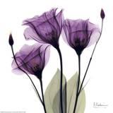 En trio av lilla blomster Plakater av Albert Koetsier